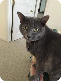 Domestic Shorthair Cat for adoption in Charlotte, North Carolina - Misty