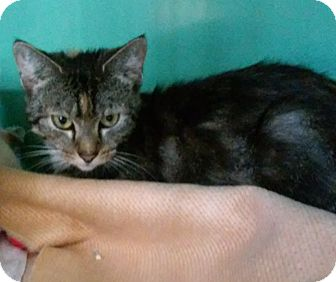 Domestic Shorthair Cat for adoption in Franklin, New Hampshire - Beauty