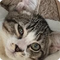 Adopt A Pet :: Smudge - Santa Monica, CA