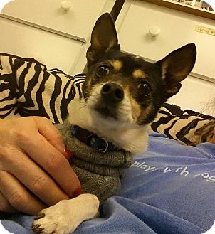 Rat Terrier Mix Dog for adoption in Overland Park, Kansas - Buddy