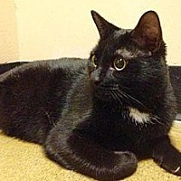 Domestic Shorthair/Domestic Shorthair Mix Cat for adoption in Anderson, Indiana - Starbucks