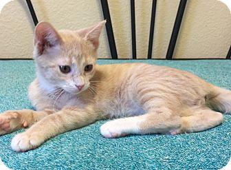 Domestic Shorthair Kitten for adoption in Plano, Texas - BLITZEN-WILL BLITZ INTO YOUR<3