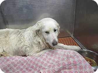 Great Pyrenees Mix Dog for adoption in Henderson, North Carolina - Snowball **MEDICAL CASE**