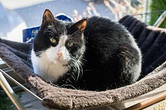 Domestic Shorthair Cat for adoption in Asheville, North Carolina - Sissy