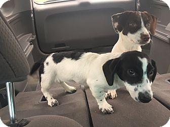 Dachshund Mix Puppy for adoption in Hartford, Connecticut - Minnie