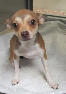 Chihuahua Mix Dog for adoption in Wichita Falls, Texas - 7/16/2017