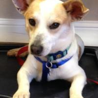 Adopt A Pet :: Bogie - Garland, TX