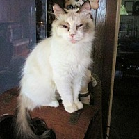 Siamese Cat for adoption in Sidney, Maine - JuJu