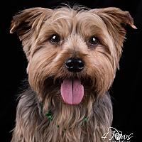 Yorkie, Yorkshire Terrier Mix Dog for adoption in Lodi, California - Titus