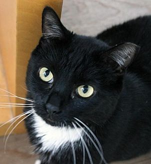 Domestic Shorthair Cat for adoption in San Jose, California - Rex