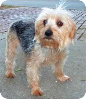 Yorkie, Yorkshire Terrier Dog for adoption in San Fernando Valley, California - Amerie