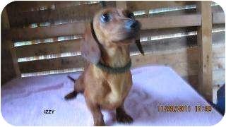 Dachshund/Dachshund Mix Dog for adoption in Commerce, Georgia - Izzy