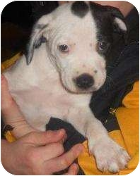 American Staffordshire Terrier/English Springer Spaniel Mix Puppy for adoption in Grand Rapids, Michigan - Hayley