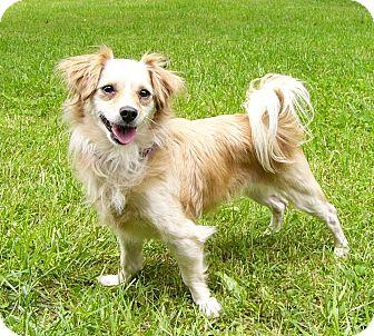Chihuahua/Tibetan Spaniel Mix Dog for adoption in Mocksville, North Carolina - Hayley Rose