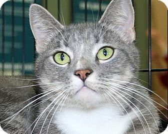 Domestic Shorthair Cat for adoption in Asheville, North Carolina - Wanda