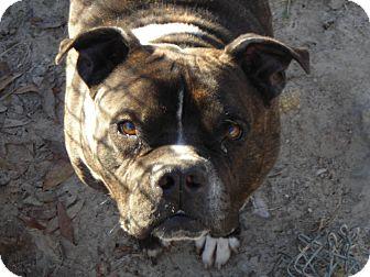 English Bulldog/American Pit Bull Terrier Mix Dog for adoption in Daleville, Alabama - Harvey