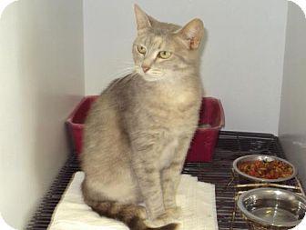 American Shorthair Cat for adoption in Mt. Vernon, Illinois - TJ