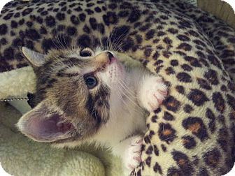 Domestic Shorthair Kitten for adoption in Knoxville, Tennessee - Miss Forsythia