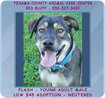 German Shepherd Dog/Labrador Retriever Mix Dog for adoption in Red Bluff, California - FLASH