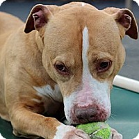 Pit Bull Terrier Mix Dog for adoption in Port Washington, New York - Penny