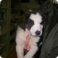 Adopt A Pet :: Puppies - latrobe, PA
