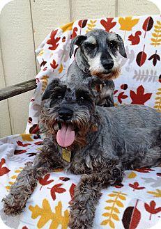Miniature Schnauzer Dog for adoption in Sharonville, Ohio - Candy & Barkley