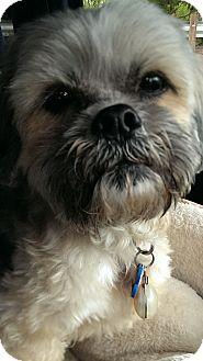 Lhasa Apso Dog for adoption in Salem, Oregon - Bodhi