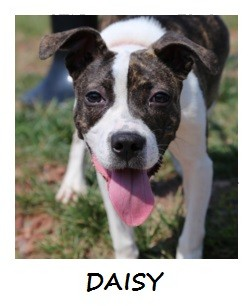 Pit Bull Terrier Mix Puppy for adoption in Manassas, Virginia - Daisy