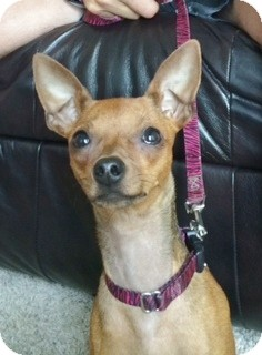 Miniature Pinscher Dog for adoption in Sacramento, California - Tula