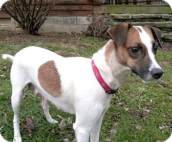 Jack Russell Terrier Mix Dog for adoption in Cincinnati, Ohio - Annie