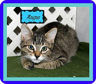 Domestic Shorthair Kitten for adoption in Covington, Louisiana - Angus
