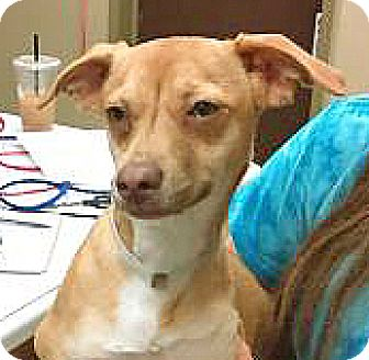 Chihuahua/Dachshund Mix Dog for adoption in Spokane, Washington - Junebug