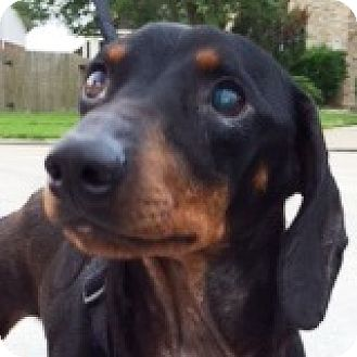 Dachshund Dog for adoption in Houston, Texas - Oscar