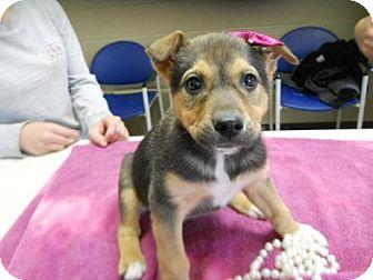 Shepherd (Unknown Type)/Labrador Retriever Mix Puppy for adoption in Cottageville, West Virginia - Cadberry
