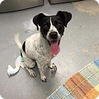 Adopt A Pet :: Freckles - Schererville, IN