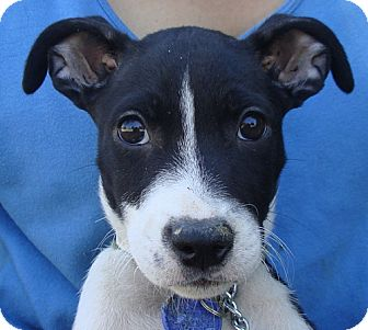Jack Russell Terrier/Terrier (Unknown Type, Small) Mix Puppy for adoption in Austin, Texas - Dottie & Vern