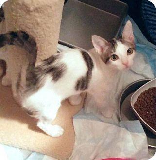Domestic Mediumhair Kitten for adoption in Mansfield, Texas - London