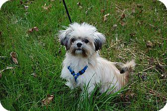 Maltese/Yorkie, Yorkshire Terrier Mix Puppy for adoption in Newark, Delaware - Marshmallow
