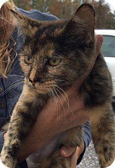 Domestic Shorthair Kitten for adoption in Dover, Tennessee - GINGER
