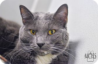 Domestic Shorthair Cat for adoption in Martinsville, Indiana - Jack