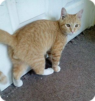 American Shorthair Cat for adoption in Brooklyn, New York - Sunny*