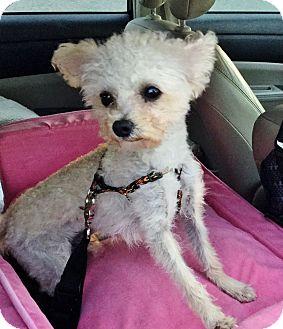 Maltese/Yorkie, Yorkshire Terrier Mix Dog for adoption in Irvine, California - Beckham