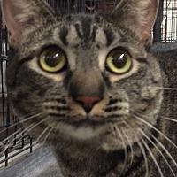 Adopt A Pet :: Sheba - Amarillo, TX