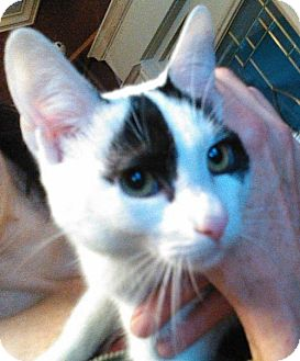 Domestic Shorthair Cat for adoption in Fishkill, New York - Fortune