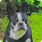 Adopt A Pet :: Dixie-ADOPTION PENDING