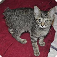 Adopt A Pet :: PEBBLES -9 weeks- (NO TAIL!) - New Smyrna Beach, FL