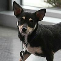 Adopt A Pet :: GILLIGAN (S&R kw) - Tampa, FL
