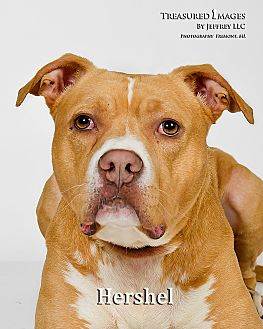 American Staffordshire Terrier/American Pit Bull Terrier Mix Dog for adoption in Fremont, Michigan - Hershel