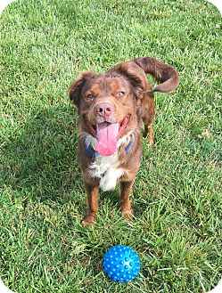 Border Collie Mix Dog for adoption in Indian Trail, North Carolina - Rufus