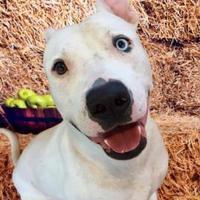 Adopt A Pet :: 36397529 - Land O'Lakes, FL